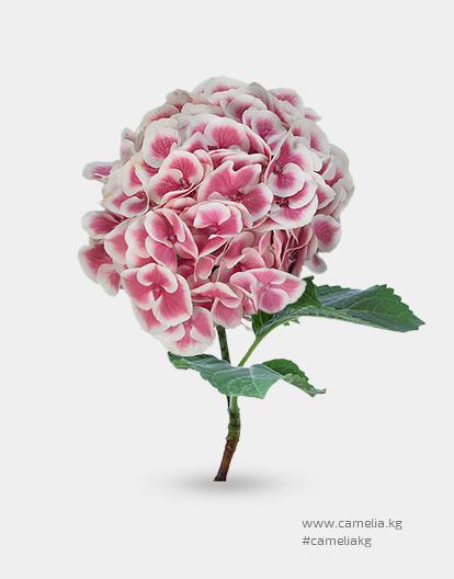 Гортензия розовая с белым